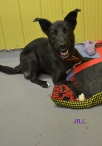 "Young Female Dog - Husky: ""Jill"""
