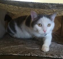 LOST CAT from Golden Grove/Wynn Vale REWARD OFFERED Wynn Vale Tea Tree Gully Area Preview
