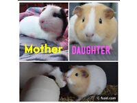 2 FEMALE GUINEA PIGS WITH CAGE