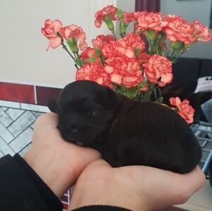 Tiny puppies from our Therapy/Service dogs