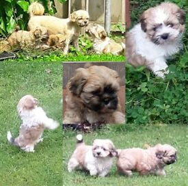 *Shih tzu Male Puppies! * £300 ono
