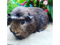 Bonded pair of male guinea pigs