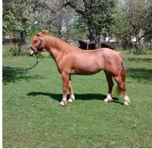 Reg Welsh x 5 year old mare - med size pony - finish her ur way London Ontario image 8