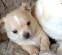 2 chihuahua puppies for sale