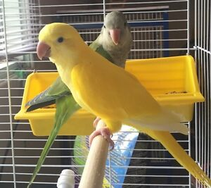 Quaker Parrots Various Colors Ready to Go Starting at $400
