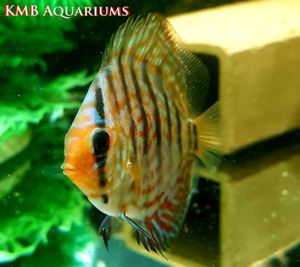 "Beautiful red eagle discus 2""-3"""