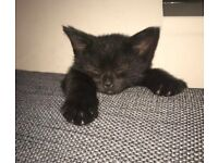 Beautiful black kittens for sale