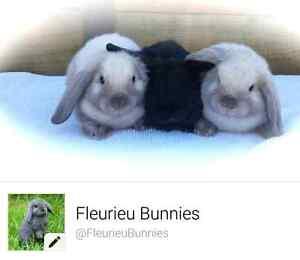 Fleurieu Bunnies - mini lops Victor Harbor Victor Harbor Area Preview