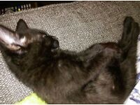3x Male Kittens for sale.