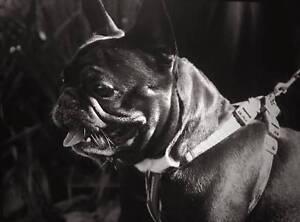 French Bulldog male Wanted High Wycombe Kalamunda Area Preview