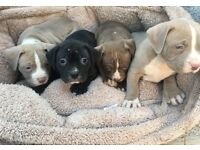 XL American bully puppies