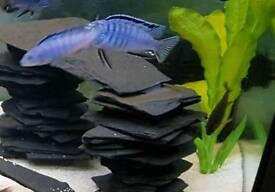 Powder blue aocolofi cichlid x2