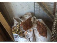 five hens Rhode Island cross