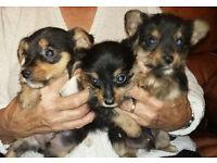 Yorkie X Chihuahua pups