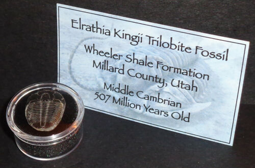 507 Million Year Old Trilobite (Elrathia Kingii) Fossil in Display Case!