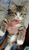 "Baby Male Cat - Domestic Short Hair: ""Kitchou"""