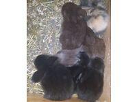 Baby Rabbits! Lionhead Cross