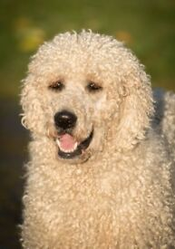 Double Doodle / Goldendoodle Puppies for sale