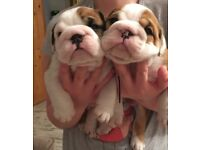 8 Kc Reg Bulldog puppies