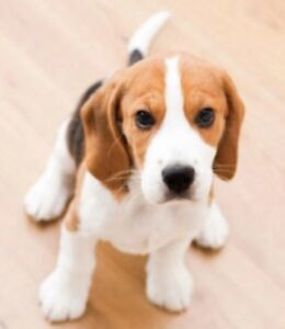 I am Looking for a Beagle puppy for my Family.