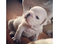 Show quality British bulldog pups