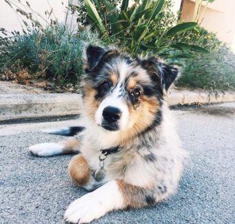 SEARCHING for Australian Shepherd puppy