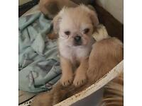 7/8th pugs puppies