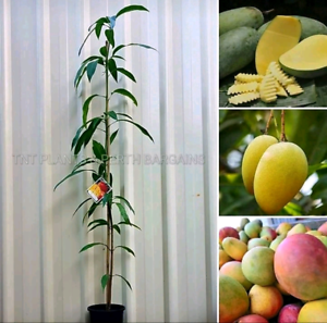 ASSORTED Mango Fruit Trees Plants From $50