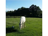 One year old pony white and blue cob