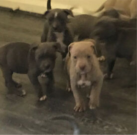 American bully XL puppies