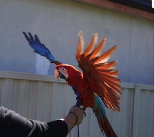 macaw   Birds   Gumtree Australia Free Local Classifieds