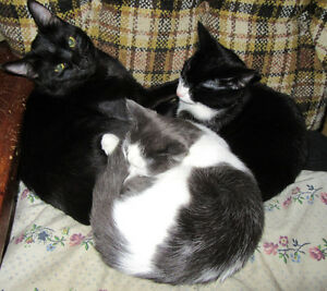 KITTENS male/female Black,White,Grey $40