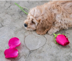 Cavoodle pup