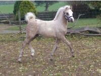 Registered Welsh Sec B palomino yearling filly
