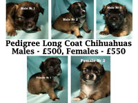 5 FULL PEDIGREE LONG COAT CHIHUAHUA PUPPIES FOR SALE