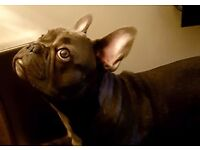 Male blue French Bulldog