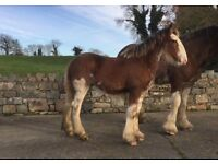 Gorgeous Clydesdale filly foal