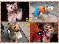 Beautiful Standart Yorkshire Terrier puppies for sale.