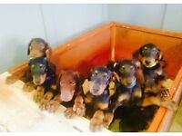 Doberman Pups from imported bloodlines, Ready now!