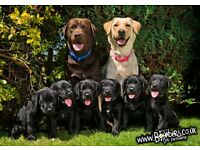 Kc Reg Labrador pups ready to leave now! 8week old