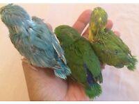 Fully HandReared CuddlyTamed Baby Parrotlets