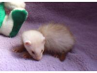 Half Angora Ferret Kits for sale