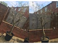2 x 50 year old Olive Trees For Sale - Large