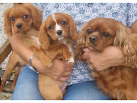 RUBY CAVALIER KING CHARLES PUPPIES