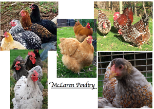 Heritage Purebred Chickens, ( Chicks and Fertile Eggs for sale ) McLaren Vale Morphett Vale Area Preview