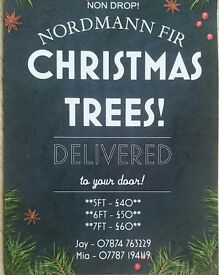 Christmas Trees non dropping 5 foot to 8 foot