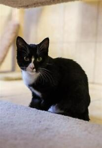 "Young Female Cat - Domestic Short Hair: ""Astra"""
