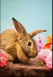 "Adult Female Rabbit - Flemish Giant: ""Saoirse"""