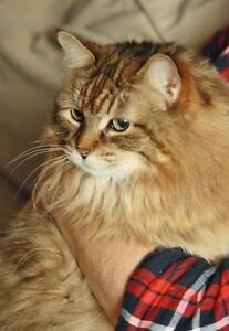 "Senior Female Cat - Tabby-Domestic Long Hair: ""April"" London Ontario image 2"