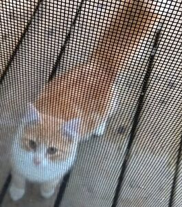 Found orange and white long haired cat Prince George British Columbia image 2